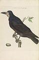 Nederlandsche vogelen (KB) - Corvus frugilegus (199pl).jpg