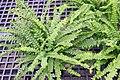 Nephrolepis cordifolia 5zz.jpg