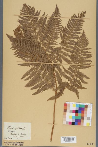 File:Neuchâtel Herbarium - Pteridium aquilinum - NEU000000740.tiff