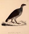 Neue Wirbelthiere zu der Fauna von Abyssinien gehörig (1835) Pternistis erckelii.png