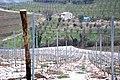 New vine planting in Valpolicella.jpg