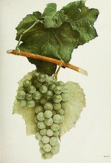 Noah (grape) Grape cultivar