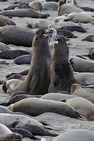 Small population size - Image: Northern elephant seal combats