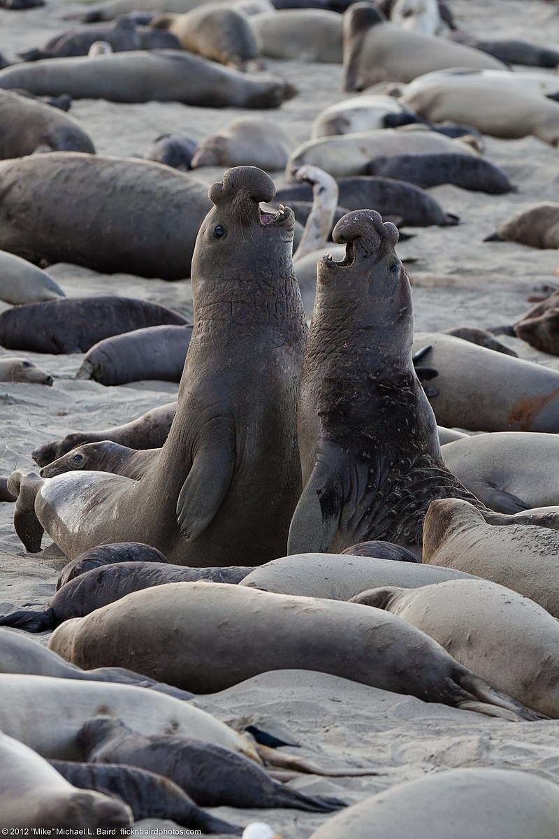 Northern elephant seal combats.jpg