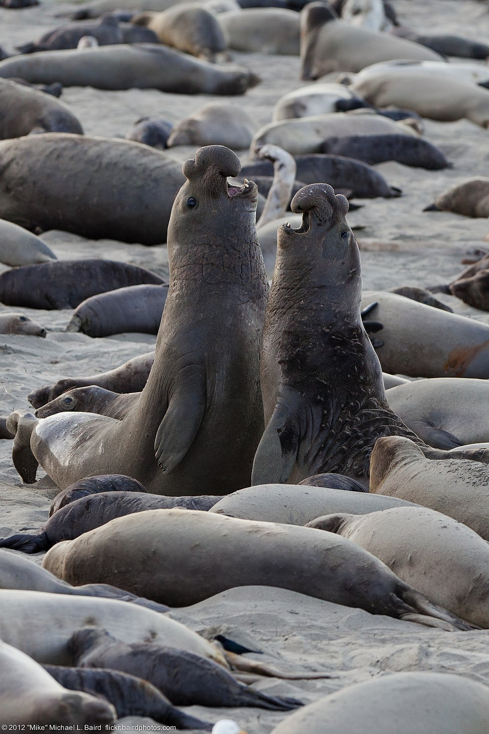 Northern elephant seal combats