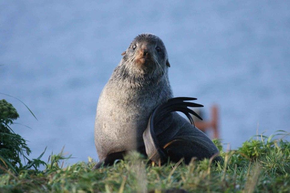Northrer fur seal close up callorhinus ursinus