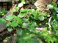 Nothofagus-antarctica-uncertain-germany-1000593.JPG
