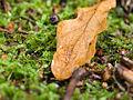 Oak leaf (10493303825).jpg