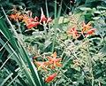 Oaxaca lily1.jpg