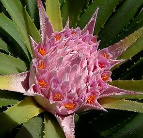 Blütenstand von Ochagavia carnea.