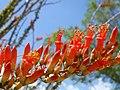 Ocotillo, Fouquieria splendens - panoramio.jpg