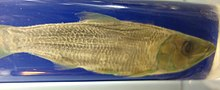 Odaxothrissa losera - Royal Museum for Central Africa - DSC06849.JPG