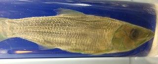 <i>Odaxothrissa</i> genus of fishes