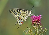 Old World swallowtail (Papilio machaon gorganus) underside Italy.jpg