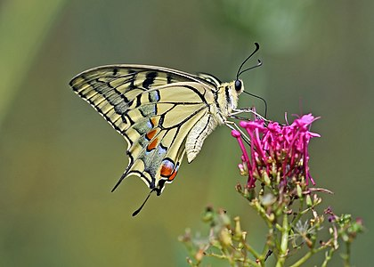 Old World swallowtail (Papilio machaon gorganus) in Italy