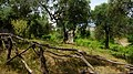 Old olive tree - panoramio (1).jpg