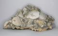 Oligocene shell conglomerate.png