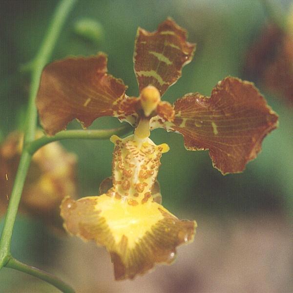 Oncidium forbesii