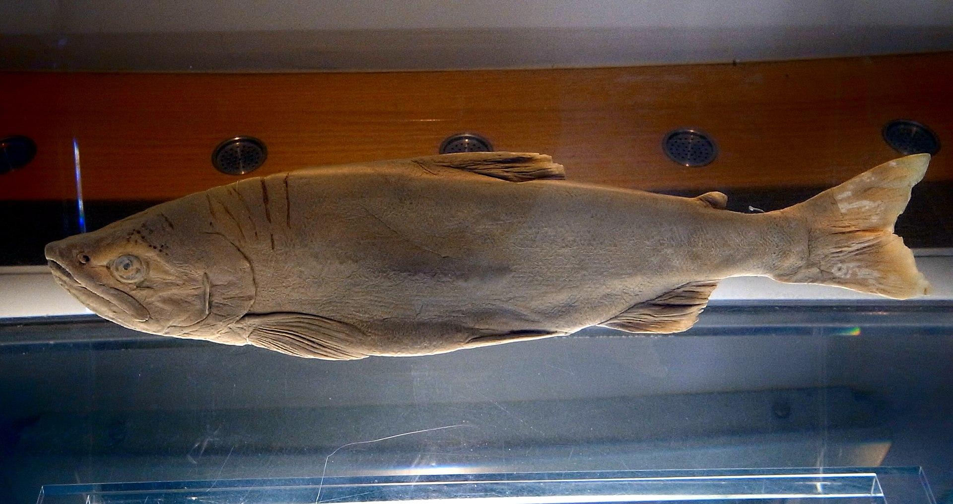 https://upload.wikimedia.org/wikipedia/commons/thumb/d/df/Oncorhynchus_kawamurae_by_DaijuAzuma.jpg/1920px-Oncorhynchus_kawamurae_by_DaijuAzuma.jpg