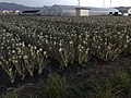 Onion fields in Tajiri, Nishi, Fukuoka 2.jpg