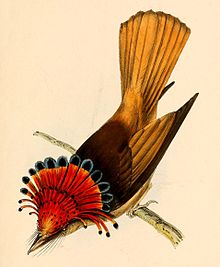 Onychorhynchus coronatus coronatus from above 1841.jpg