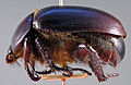 Oogeneius chilensis paratype 1 lateral.jpg