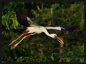 Raiganj (community development block) - Openbill stork at Raiganj Wildlife Sanctuary