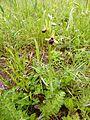 Ophrys sphegodes 07.JPG