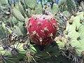 Opuntia-oricola-Camarillo-5-1-11-21.jpg