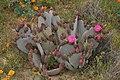 Opuntia basilaris 7949.JPG
