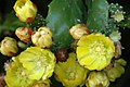 Opuntia monacantha (2).jpg