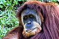 Orangutan 099.jpg