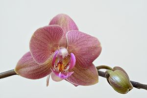 Orchidaceae - High resolution image of orchid