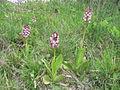 Orchis purpurea k1.JPG