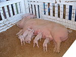 Oregon State Fair pigs.jpg