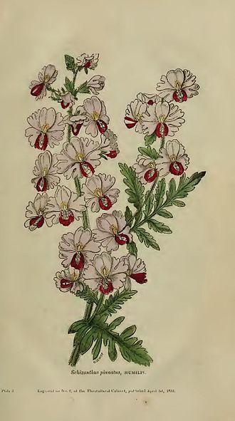 "Orlando Jewitt - Schizanthus pinnatus from Joseph Harrison's ""The Floricultural Cabinet and Florist's Magazine"""