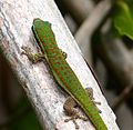 Ornate Day Ghecko Phelsuma ornatus - Flickr - gailhampshire (1).jpg
