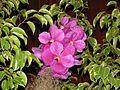 Orquidea 2003 003.jpg