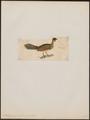 Ortalida garrula - 1820-1860 - Print - Iconographia Zoologica - Special Collections University of Amsterdam - UBA01 IZ16900105.tif