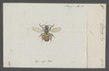 Osmia - Print - Iconographia Zoologica - Special Collections University of Amsterdam - UBAINV0274 045 06 0006.tif