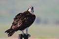 Osprey. (Pandion haliaetus).jpg