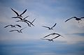 Osteros flying 2.jpg