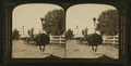 Ostrich Farm, Pasadena, California, U.S.A, by H.C. White Co..png
