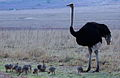 Ostrich or Common Ostrich (Struthio camelus) at Rietflei early morning, male and female with a gaggle of young. (10087893044).jpg