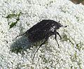 Oxythyrea funesta - Flickr - gailhampshire.jpg