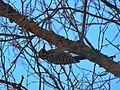 Pájaro carpintero cerca del Cerro del Chiquihuite.jpg