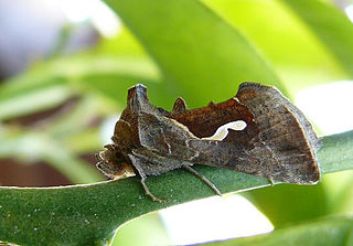 <i>Macdunnoughia</i> Genus of moths