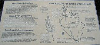 Erica verticillata - Image: P1050813