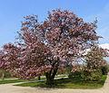 P1240517 Paris V jardin des plantes cerisier du Japon rwk.jpg