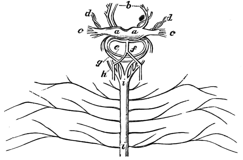 spinal cord diagram coloring  spinal  free engine image